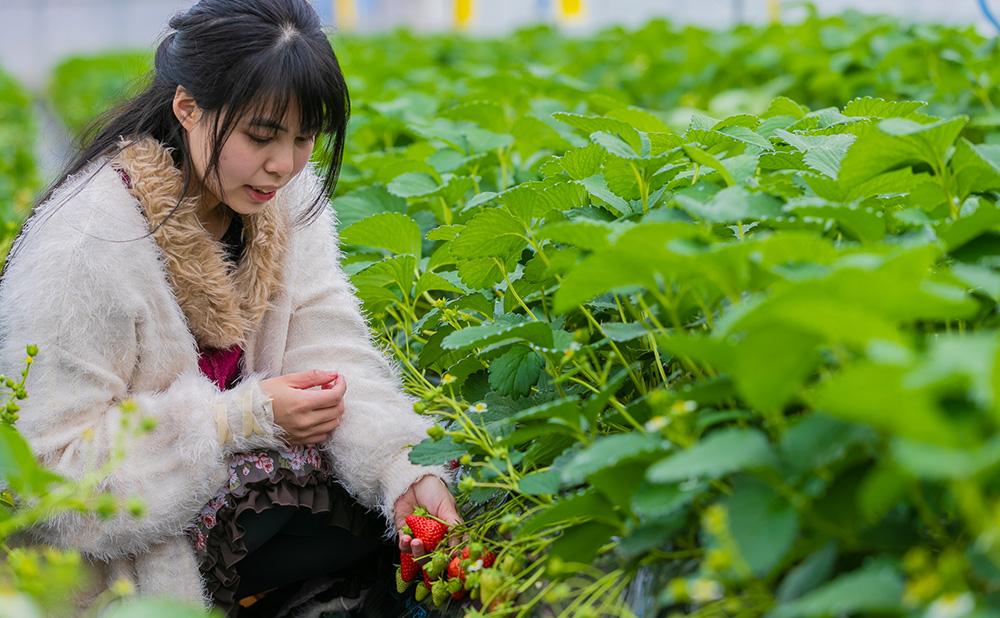 伊豆下田 いちご狩り なごみ果園 園内風景